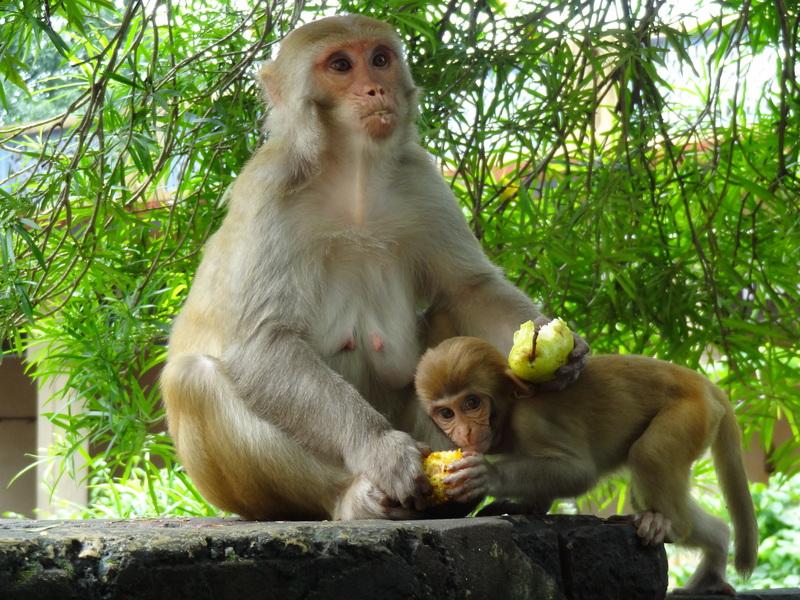 macacos aparigraha