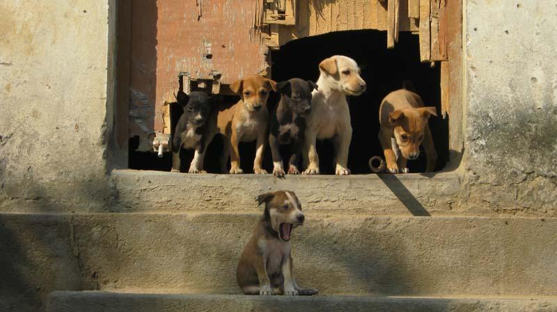 Caes em Varanassi India